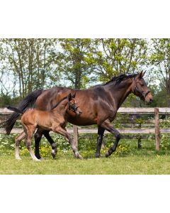 QHP Halter foal leather Shimmer